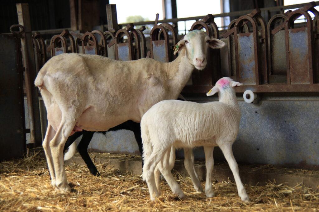 La cabaña de ovejas de Dehesa de Los Llanos está formada por 5.500 ovejas de pura raza Manchega.